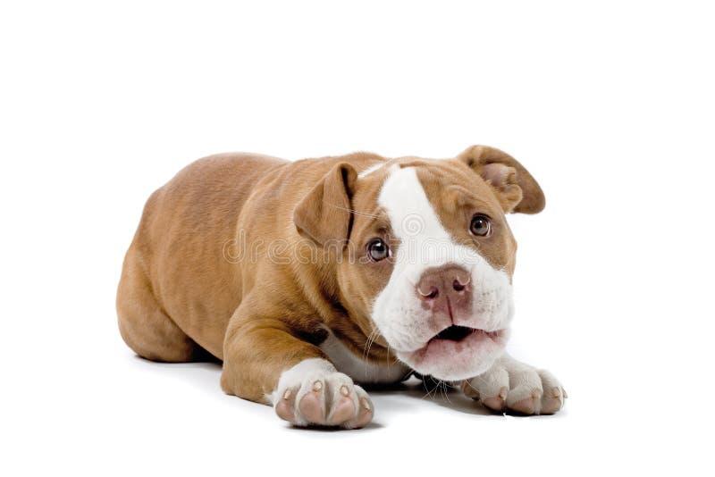 bulldoggrenässans royaltyfria bilder