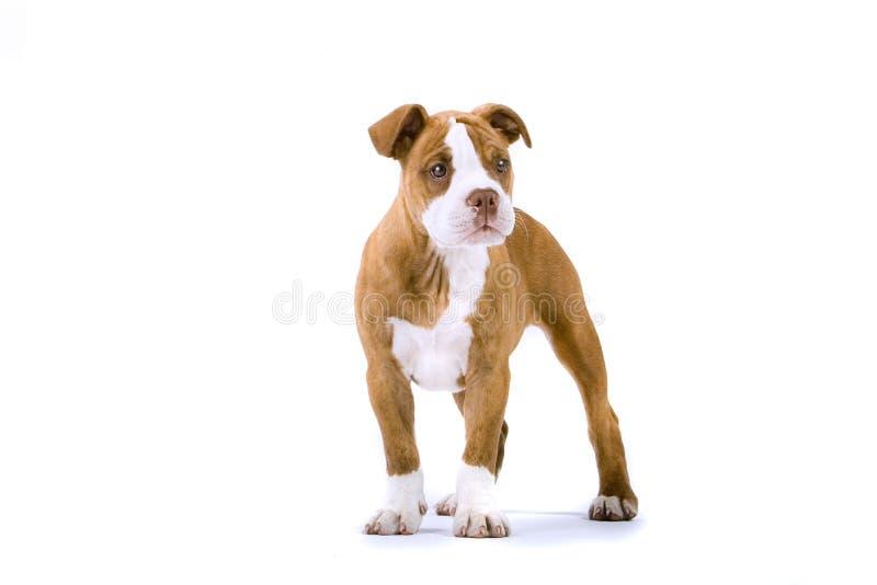 bulldoggrenässans fotografering för bildbyråer