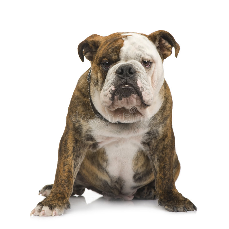 bulldogs 6 miesięcy po angielsku zdjęcia stock