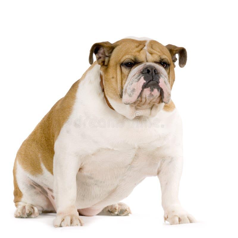 bulldogs anglików obrazy stock
