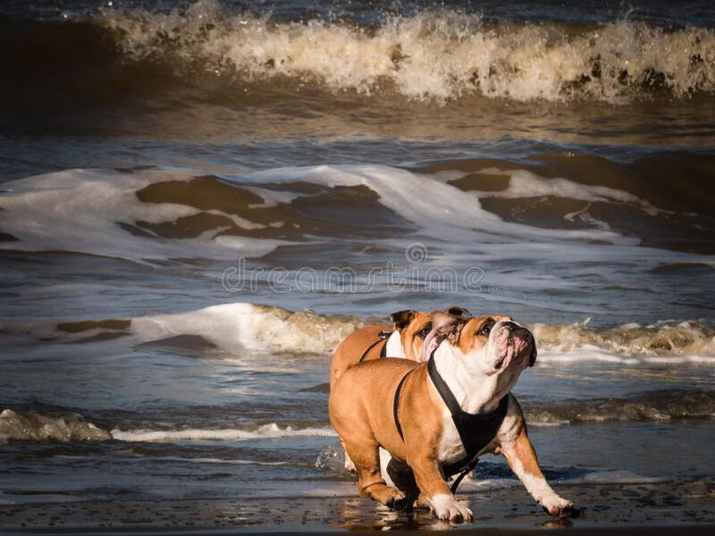 Bulldogs playing on beach stock photo