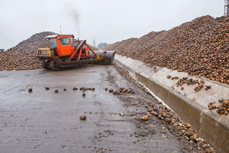 Bulldozer moves parts of sugar beet at sugar factory stock photos
