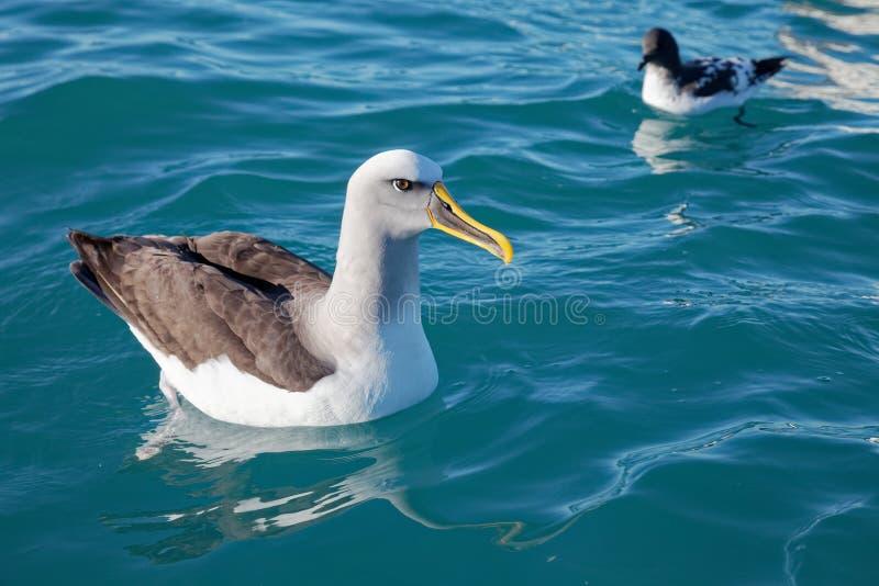 Buller`s Albatross, Kaikoura coast, New Zealand royalty free stock images