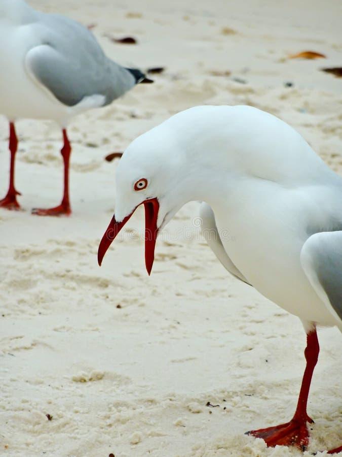 bullersam seagull arkivfoto