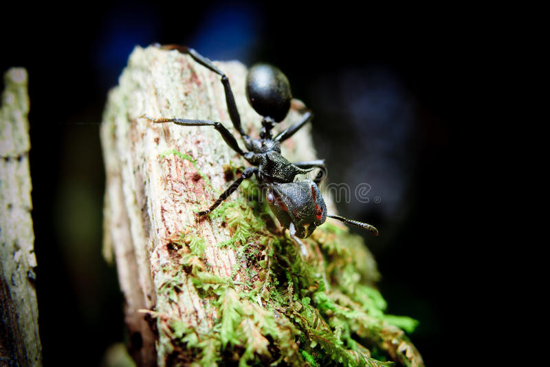 Bullet Ants in the Amazon royalty free stock photos