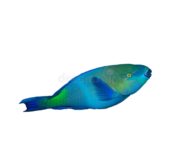 Download Bullethead Parrotfish stock photo. Image of tropical - 19768452