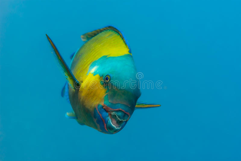 Bullethead parrotfish obraz stock