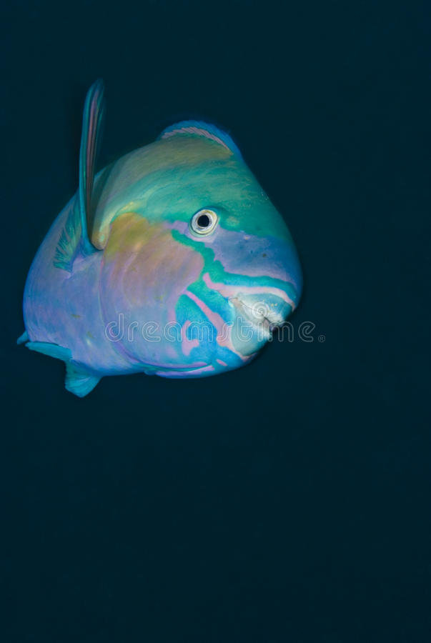 Bullethead parrotfish on a blue background. stock photography
