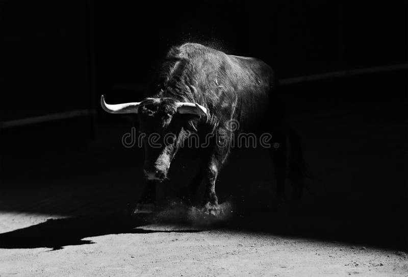 Brave bull in bullring with big horns. Bullfight in spain with big bull with big horns in the bullring royalty free stock images