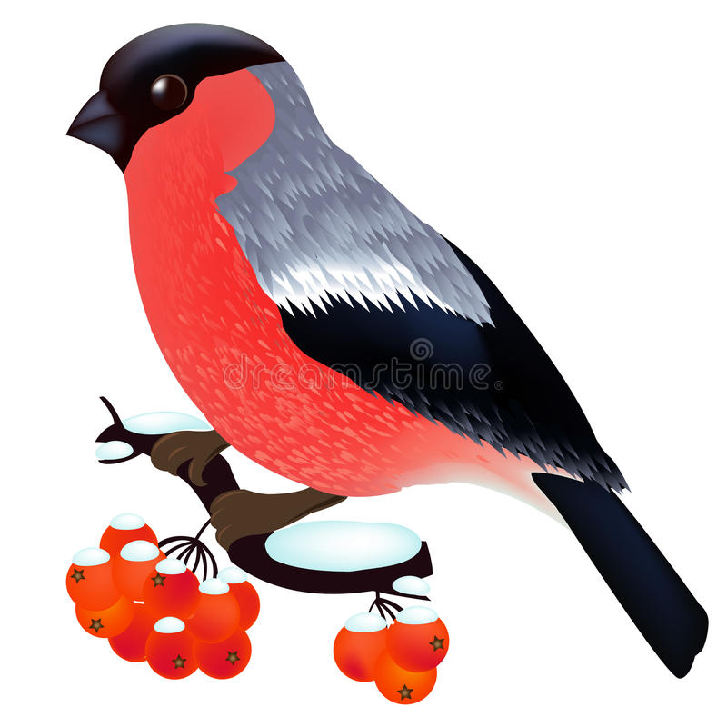 Bullfinch. Sitting On the Mountain Ash Branch, Isolated On White Background, Vector Illustration royalty free illustration