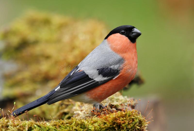 Bullfinch. Nice red bullfinch on moss standing stock photography