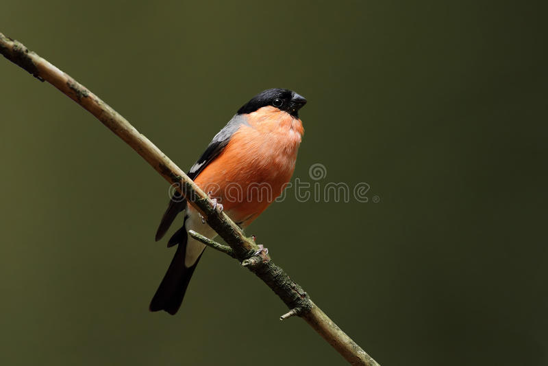 Download Bullfinch Royalty Free Stock Photos - Image: 20592408