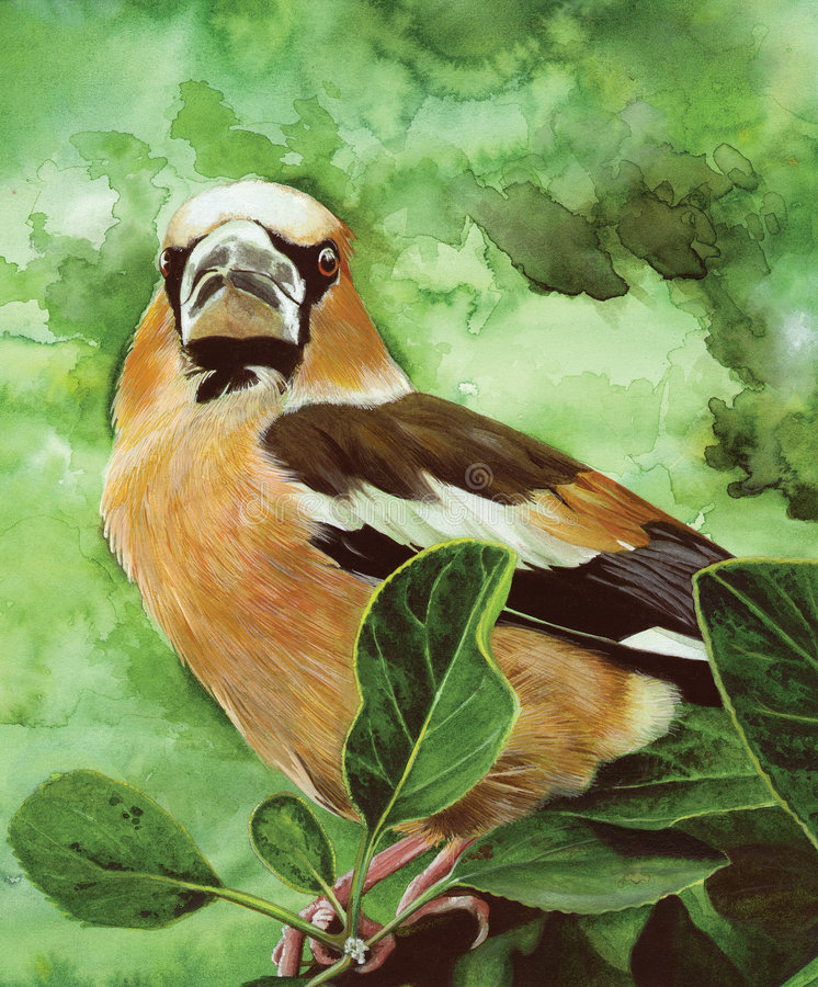 Bullfinch. An original watercolour painting (by myself as the artist) of a Bullfinch royalty free illustration