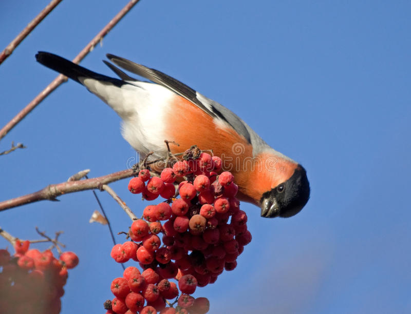 Bullfinch on the branch of mountain ash. Bullfinch (Pyrrhula pyrrhula) on the branch of mountain ash royalty free stock photography