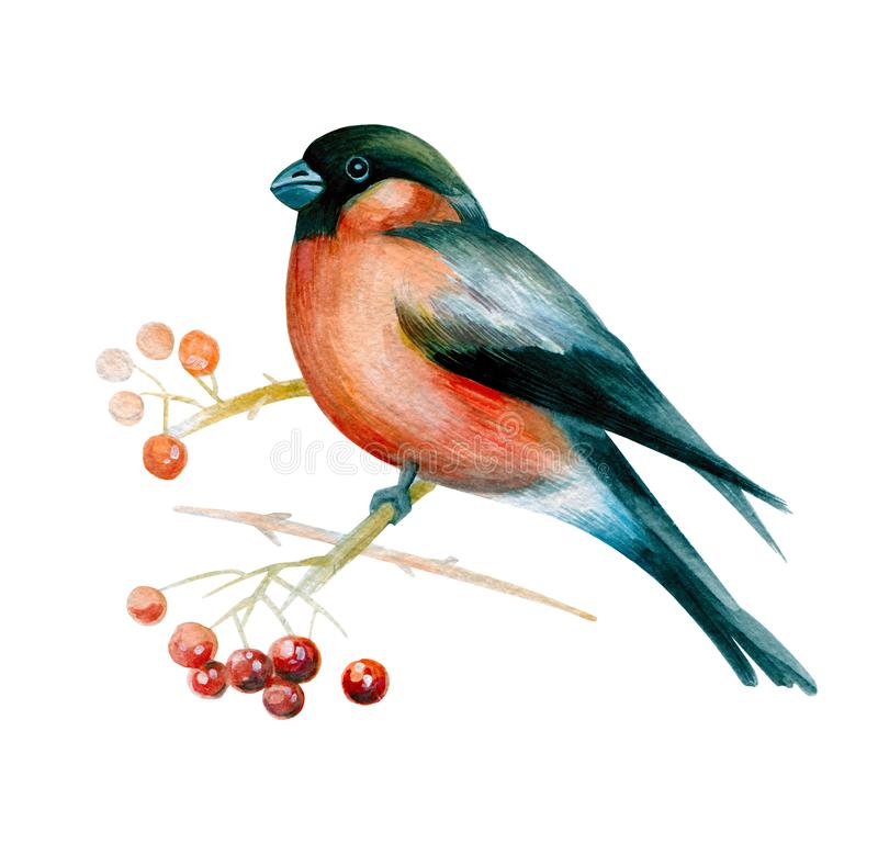 Bullfinch on a branch of mountain ash stock illustration