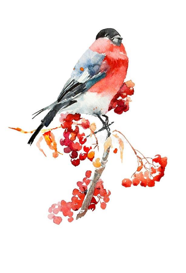 Bullfinch on a branch of mountain ash watercolor sketch vector illustration