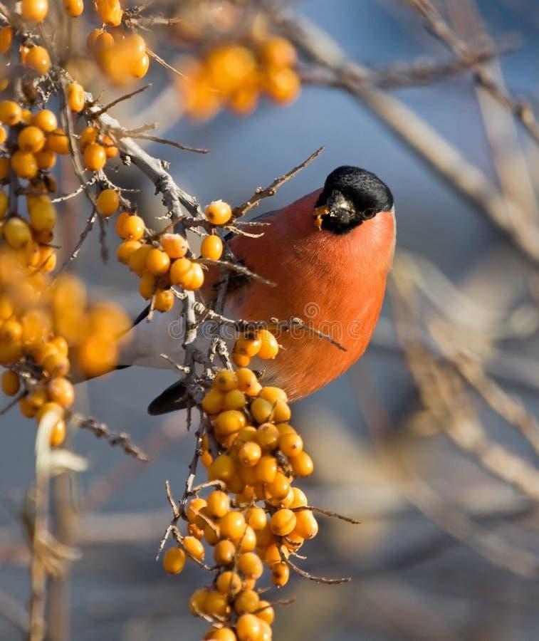 Bullfinch on the branch of Sea-buckthorn royalty free stock photos