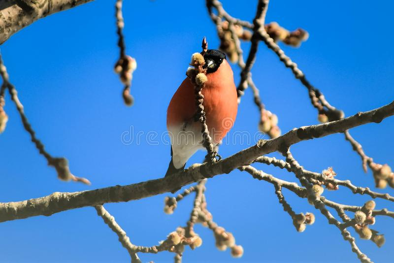 Bullfinch on the budding branch, in the middle of blue sky background. royalty free stock photos