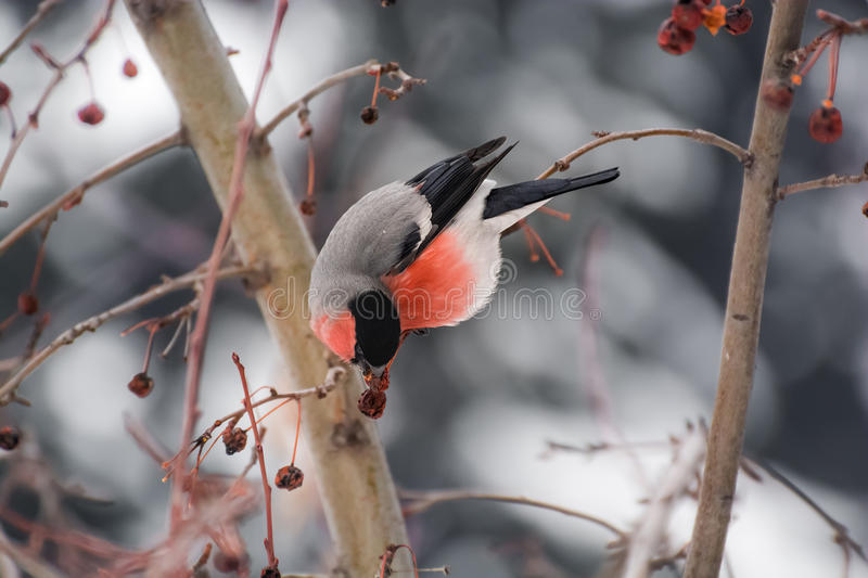 Download Bullfinch stock image. Image of berries, bullfinch, postcard - 63213993