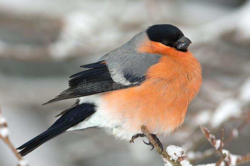 Bullfinch, macho (pyrrhula do Pyrrhula) imagem de stock royalty free