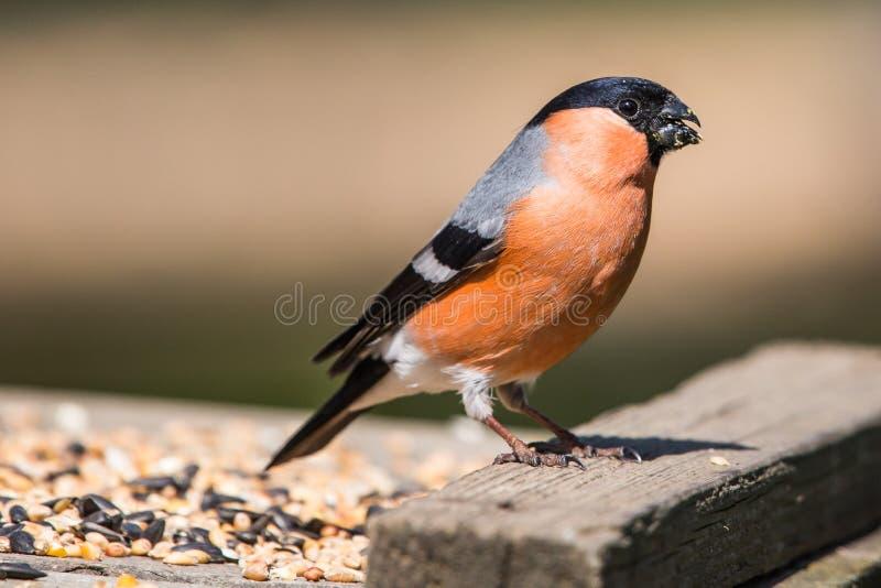 Bullfinch masculino fotos de stock