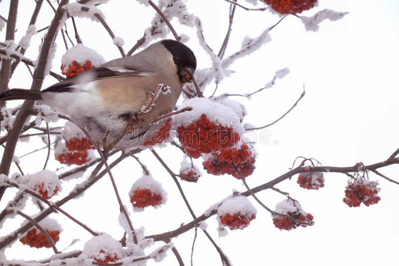 Bullfinch pecks berries of the frozen red mountain ash. Red berries of a mountain ash in hoarfrost and a bullfinch on a branch stock photo