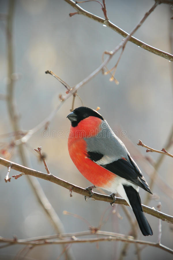 Bullfinch perched on a branch royalty free stock photo