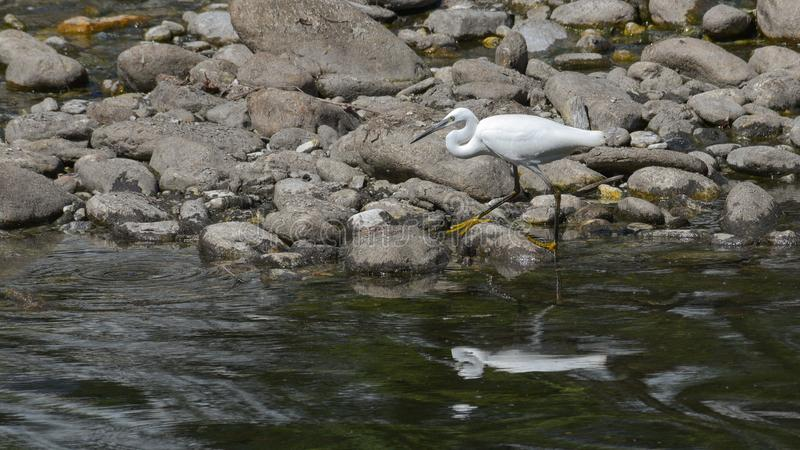 Bullfinch posed on the top of the pine treewhite little egret walking among the stones of the river. White little egret walking among the stones of the river stock photos