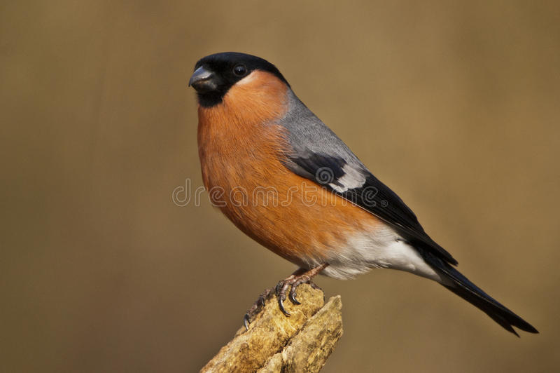 Bullfinch. Posing on a perch stock photography