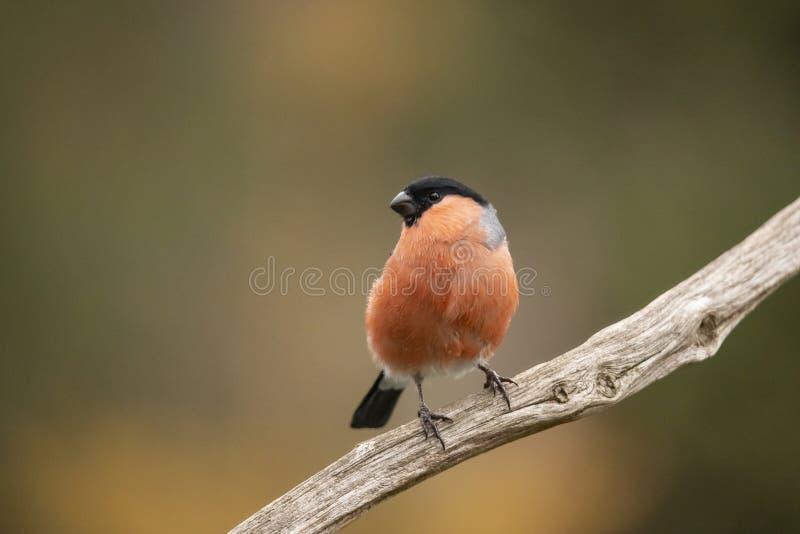 Bullfinch, pyrrhula Pyrrhula Птица с оранжевым комодом стоковое фото
