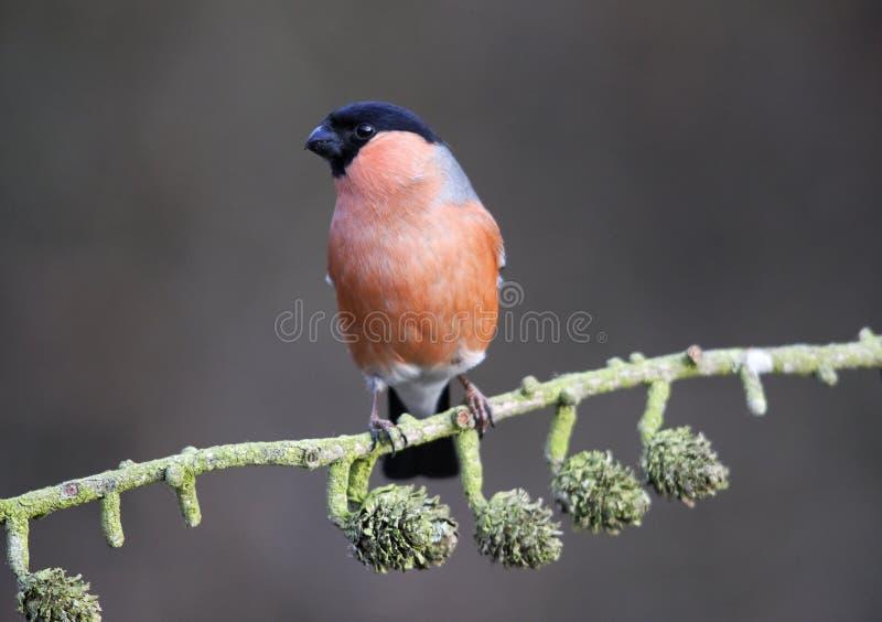 Bullfinch, pyrrhula Pyrrhula стоковое фото rf