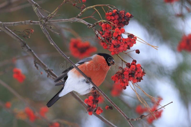 Bullfinch sitting on mountain ash berries. Red bird,wood,winter royalty free stock photos