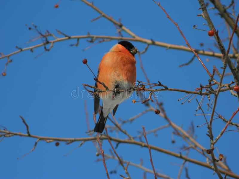Bullfinch-Vogel, Snowbird stockfoto