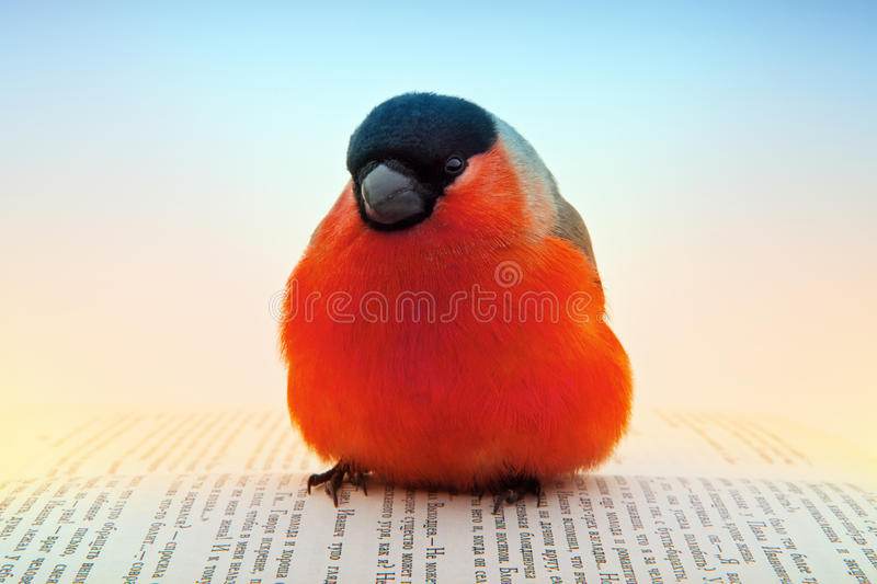Bullfinch royalty free stock image