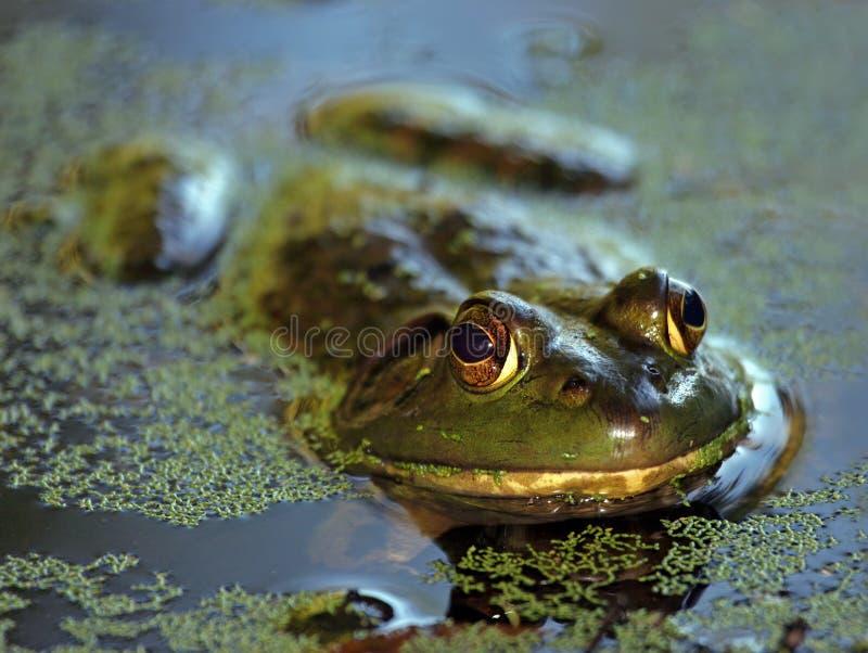 bullfrog έλος στοκ εικόνες με δικαίωμα ελεύθερης χρήσης