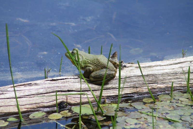 Bullfrog (αμερικανικά) στοκ φωτογραφία με δικαίωμα ελεύθερης χρήσης