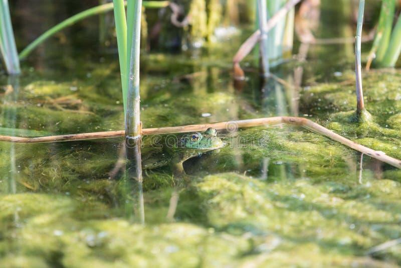 Bullfrog κρύψιμο μεταξύ των καλάμων στοκ φωτογραφίες