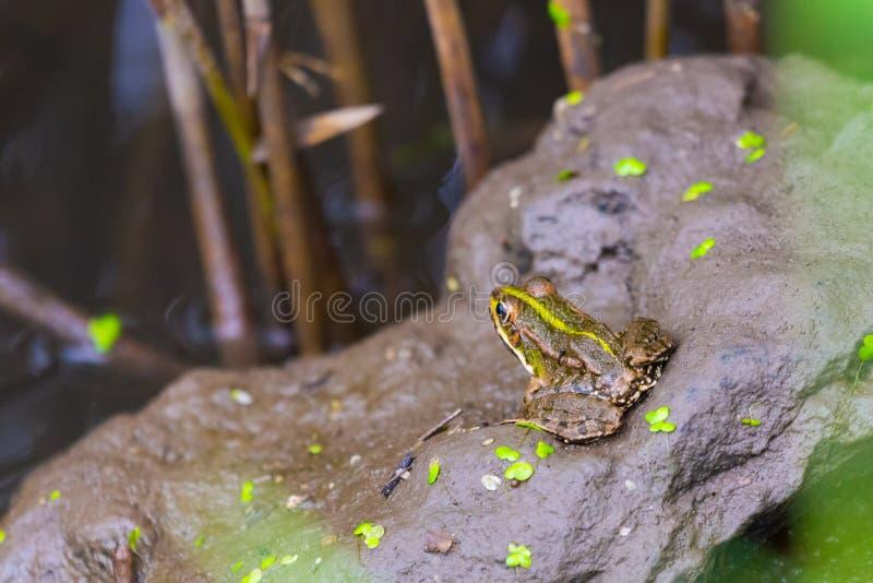 Bullfrog συνεδρίαση σε ένα έλος που περιμένει το θήραμα στοκ εικόνα