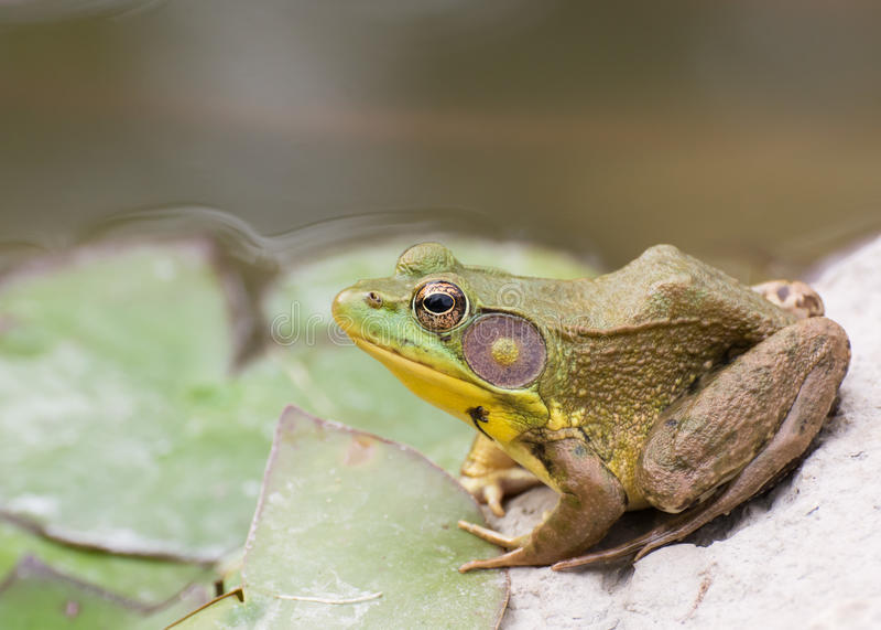 Bullfrog συνεδρίαση στο νερό σε ένα έλος στοκ εικόνες με δικαίωμα ελεύθερης χρήσης
