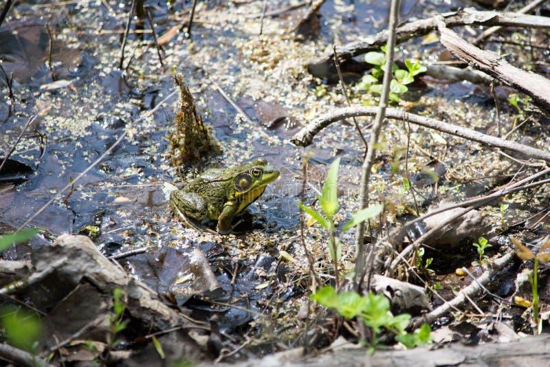 Bullfrog υγρότοποι στοκ φωτογραφία με δικαίωμα ελεύθερης χρήσης