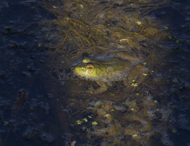 Bullfrog в пруде стоковые фотографии rf