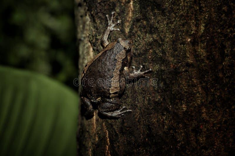 Download Bullfrog στοκ εικόνες. εικόνα από φρύνος, δέντρα, φυσικός - 105451862