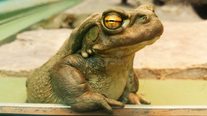 bullfrog photo libre de droits