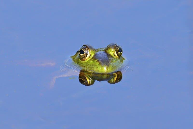 Download Bullfrog stock image. Image of green, wildlife, eyes - 19851245