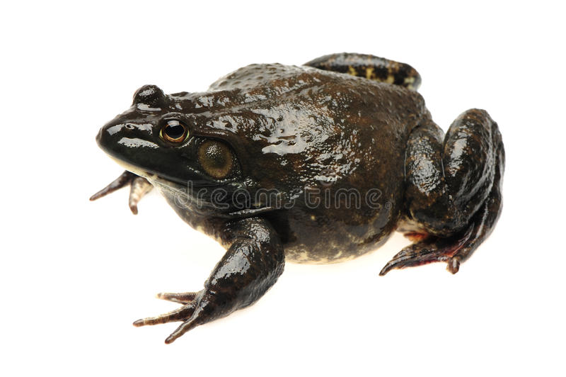 Download Bullfrog stock image. Image of american, studio, people - 24215747