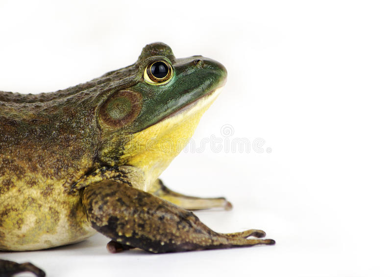 Download Bullfrog stock image. Image of bullfrog, china, amphibian - 24472431