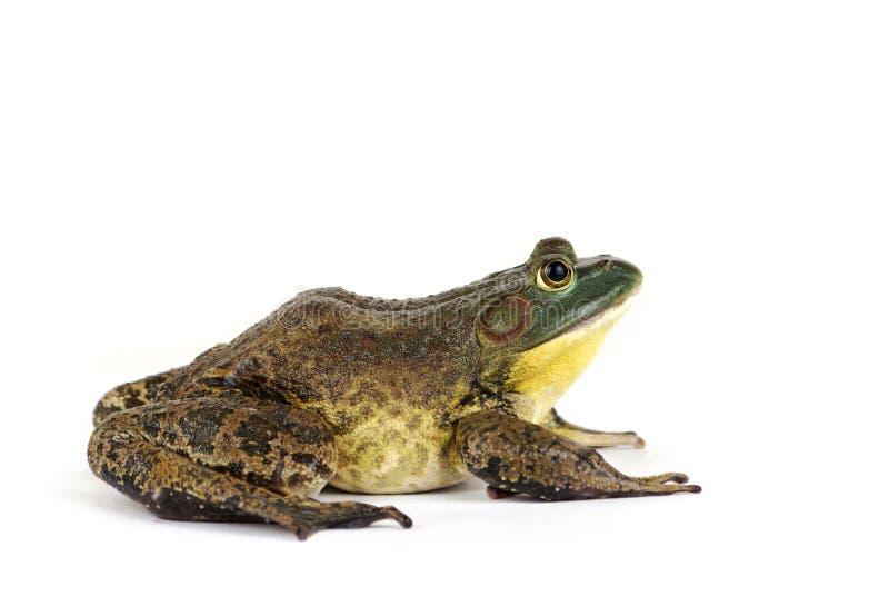 Bullfrog. China Bullfrog on white background stock images
