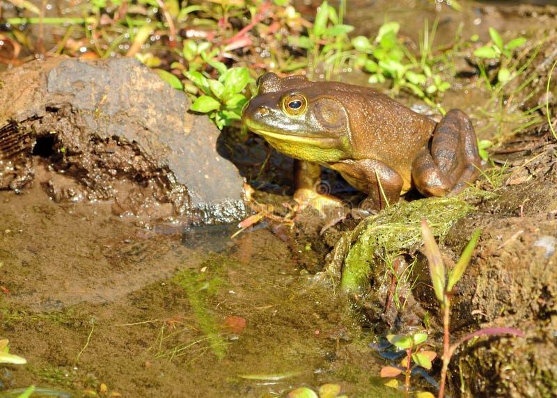 Download Bullfrog stock photo. Image of sitting, creature, animal - 25304766