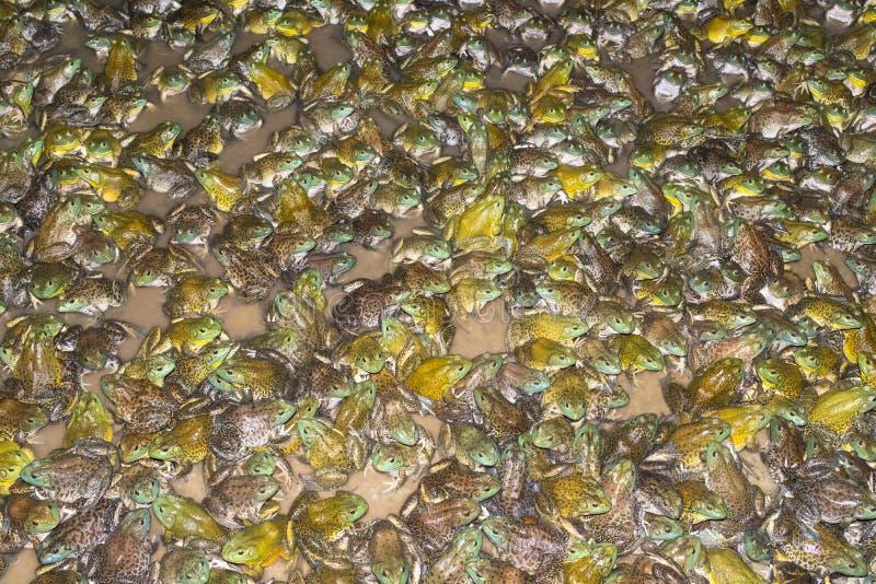 Bullfrog στοκ φωτογραφία