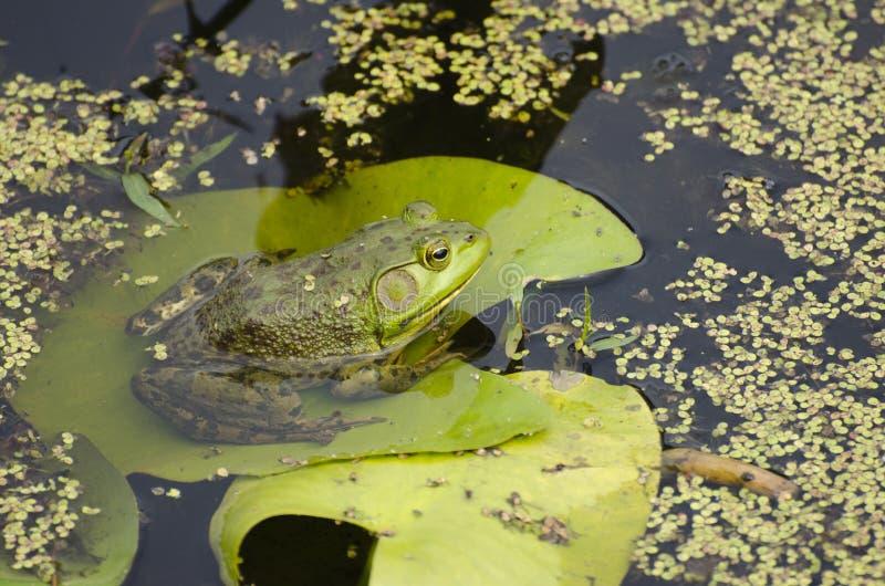 Bullfrog στοκ φωτογραφίες